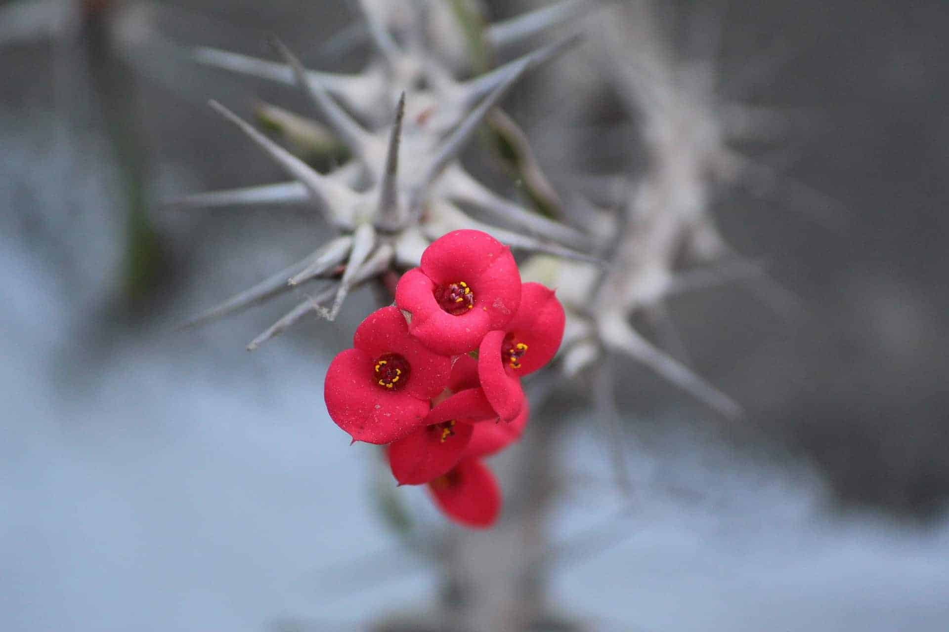 How To Grow And Care For The Euphorbia milii
