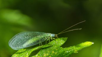 Beneficial Insects for the Garden